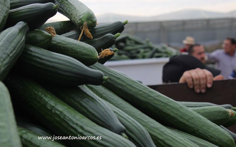 Hoy jueves se ha producido retirada de pepino en las provincias de Almería y Granada.