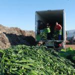 Coexphal saca del mercado más de 100.000 kg de pepino sin precio