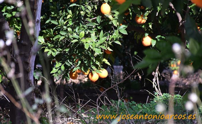 La crisis citrícola asfixia también a Murcia