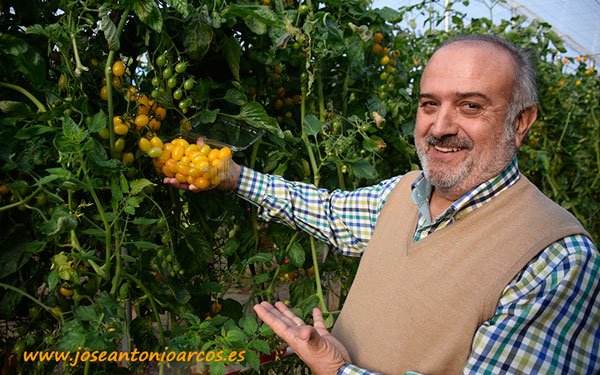 Jaime Urrios con la variedad tomate cherry amarillo Marilyn.