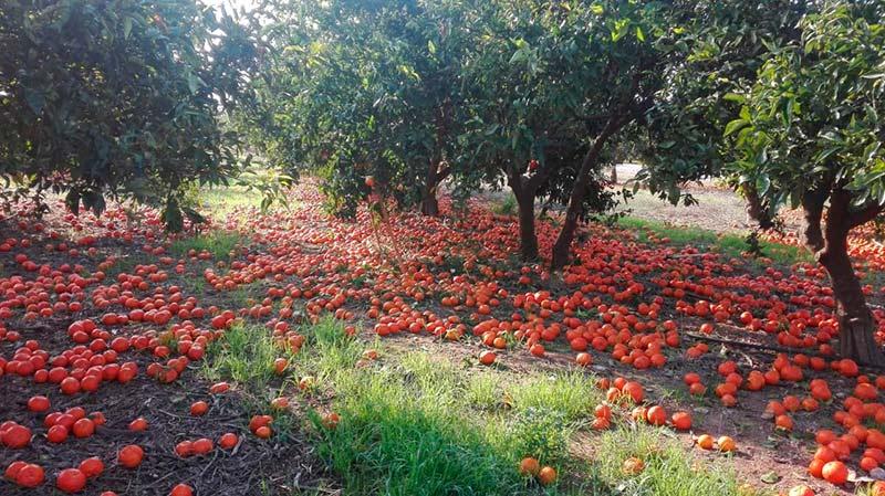 Naranjas en el suelo por los bajos precios.