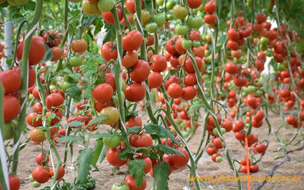 Tomate Bateyo, Seminis.