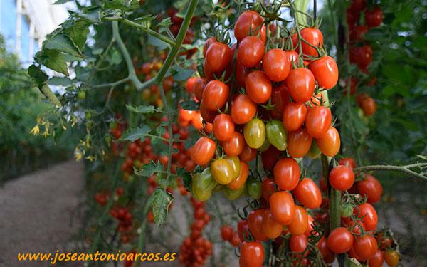 Tomate cherry Sukita.