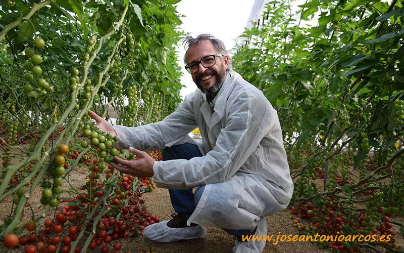 Tomate cherry Zirconyta, Seminis.