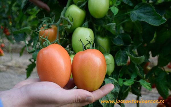 Tomate pera Bobby. Unigen Seeds. Akira.