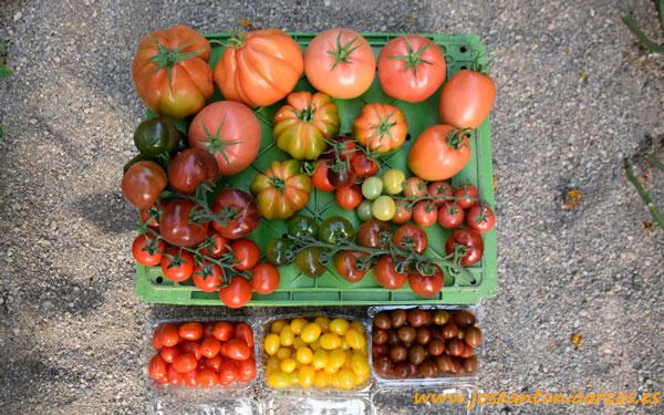Tomates de Unigen Seeds. Akira.