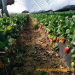 Ecoculture reduce las puntas blandas de la fresa