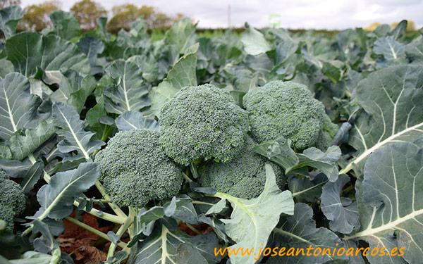 Variedad Trajano. Brócoli HM Clause.