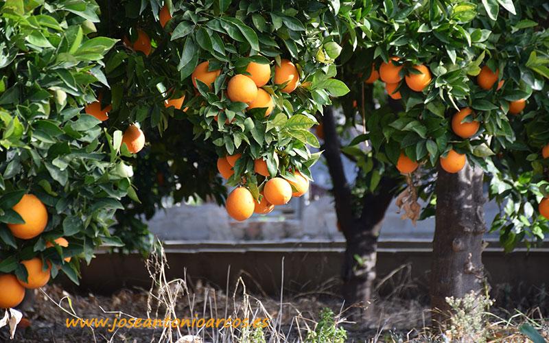 Los citricultores alertan del riesgo de importar la