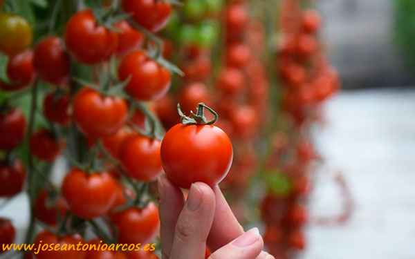 Tomate cherry redondo Zirconyta.