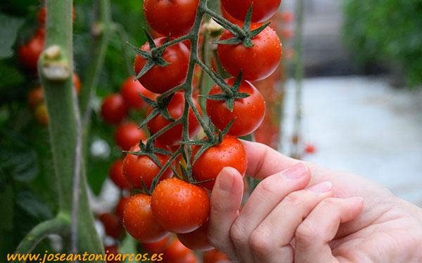 Tomate cherry Zirconyta de Seminis.