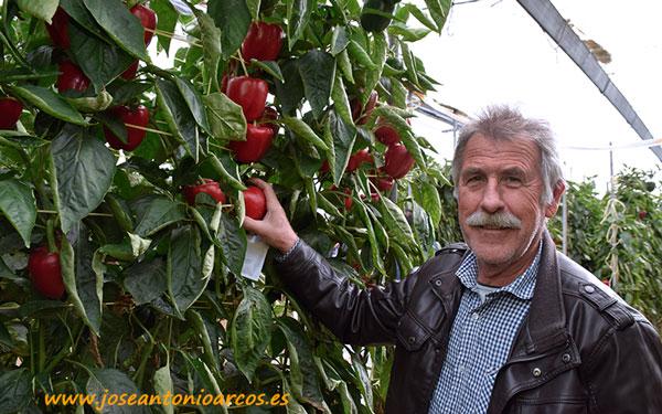 Manuel Moreno, agricultor de Roquetas, con pimiento Kabuki de Syngenta - joseantonioarcos.es