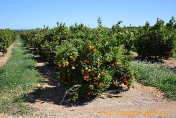 El Comité de Gestión de Cítricos se opone a la entrada de naranja egipcia