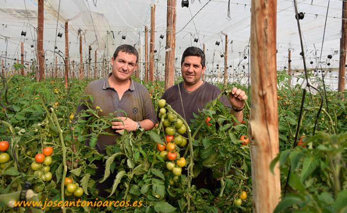 De ganaderos a productores de tomate Fahara