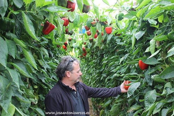 Pimiento Itaca. Sur Seeds.