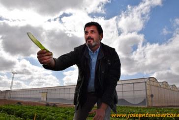 Nunhems rescata la lechuga romana del low cost
