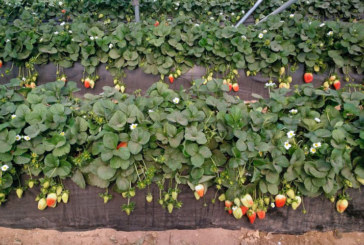 Ecoculture mejora el rojo de lafresa Rociera