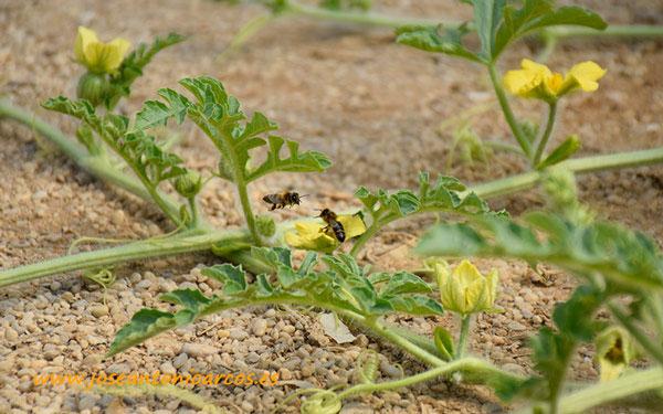 Polinización abejas con Colmenas Indapol - joseantonioarcos.es