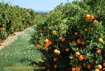 El HLB haría desaparecer la citricultura española en 15 años