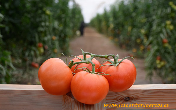 Tomate 74-340 RZ.