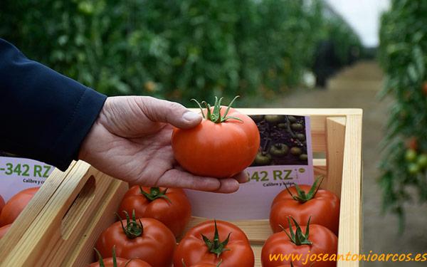 Tomate 74-342 RZ.