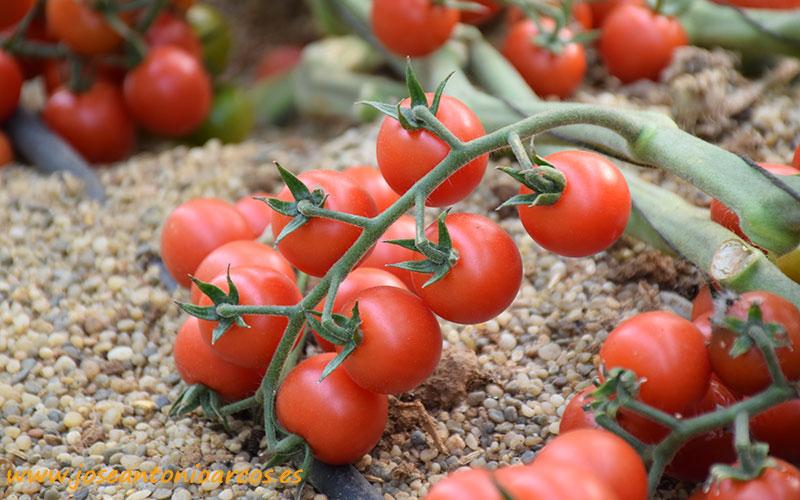 CASI investiga la resistencia inducida por microorganismos en tomate