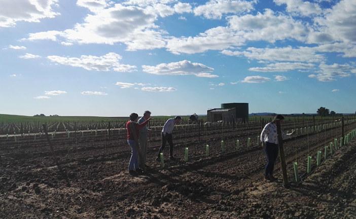 Sevilla acapara la investigación de variedades de olivo tolerantes a Xylella