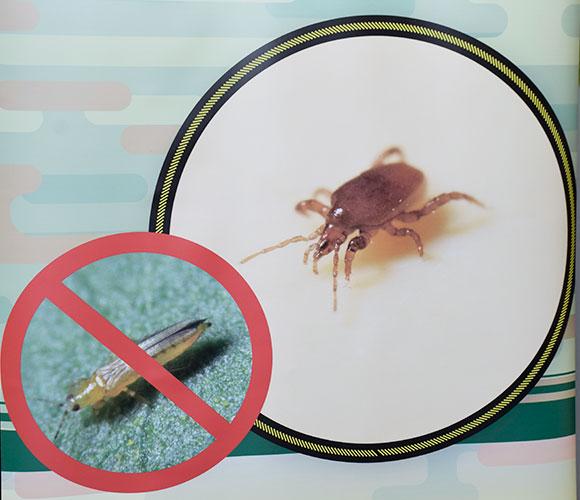 Macrocheles robustulus, TRIP-SOIL de Biosur, nuevo depredador actúa de forma efectiva en el suelo para el control de trips. - joseantonioarcos.es