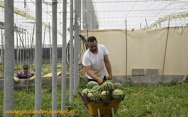 Trabajador en un invernadero de sandías en Almería. /joseantonioarcos.es
