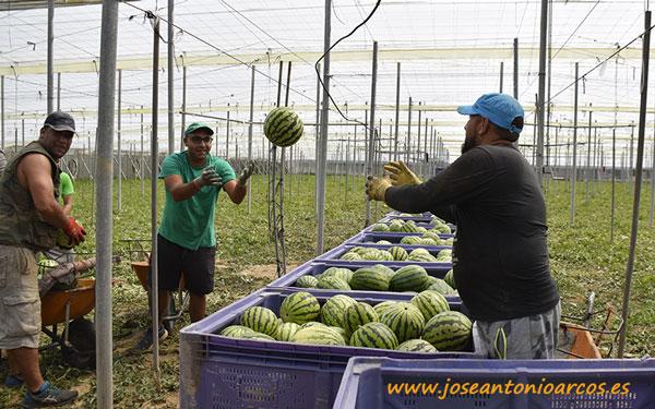 Cuadrillas recolectando sandías en invernaderos almerienses. /joseantonioarcos.es