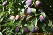 Si el IPC sube por la fruta, ¿por qué baja el precio al agricultor?
