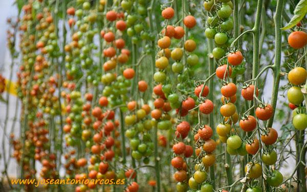 Tomate cherry Karelya, Zeraim. /joseantonioarcos.es