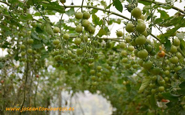 Tomate cherry Karelya. /joseantonioarcos.es