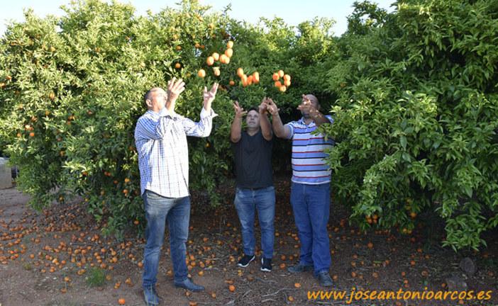 Mandarinas sin precio (vídeos en Nules)
