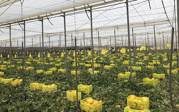 Recolección en campo esta pasada semana de melón amarillo. /joseantonioarcos.es