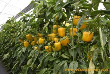 Mikonos alarga el ciclo en el california amarillo para tardío