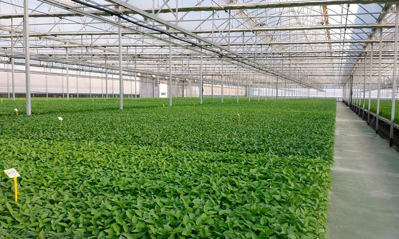 La principal plaga y más difícil de erradicar dentro de un semillero es el trips - joseantonioarcos.es