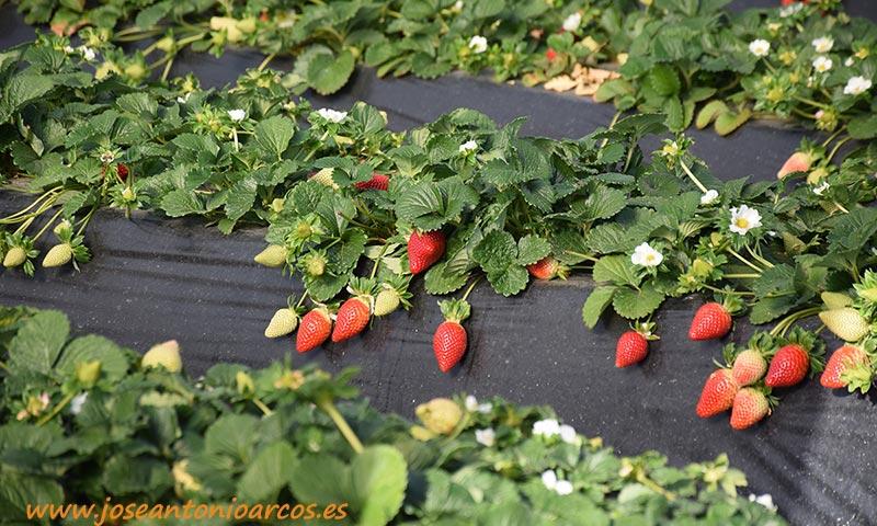 La fresa en hidropónico produce un 17% más que en suelo