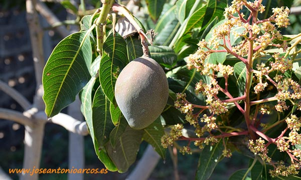 Mangos en Canarias. /joseantonioarcos.es