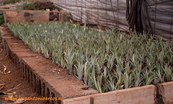 Cultivo de piña en Tenerife, Canarias. /joseantonioarcos.es
