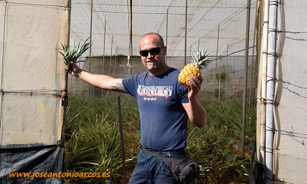 Kiko González encargado de piña tropical en invernaderos de Tenerife. /joseantonioarcos.es