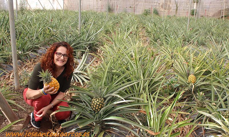 Piña en invernadero. Tropicales alternativos en Canarias