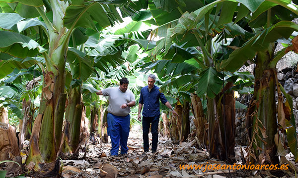 Plátano ecológico. /joseantonioarcos.es