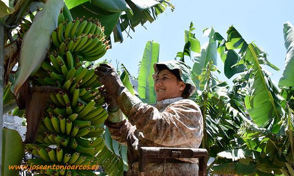 María Candelaria Hernández desflorillando plátanos en Canarias. /joseantonioarcos.es