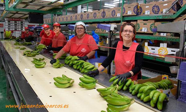 Plátano de Canarias en FAST, Tenerife. /joseantonioarcos.es