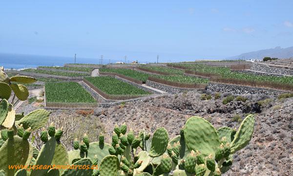Plátanos al sur de Tenerife. /joseantonioarcos.es