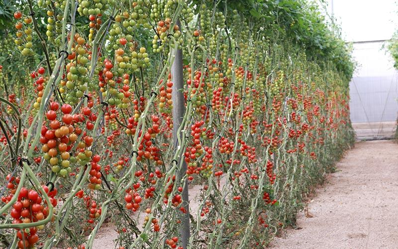 Tomate cherry Cherruty de Meridiem Seeds. /joseantonioarcos.es