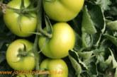 Coexphal denuncia la reventa de tomate marroquí como almeriense