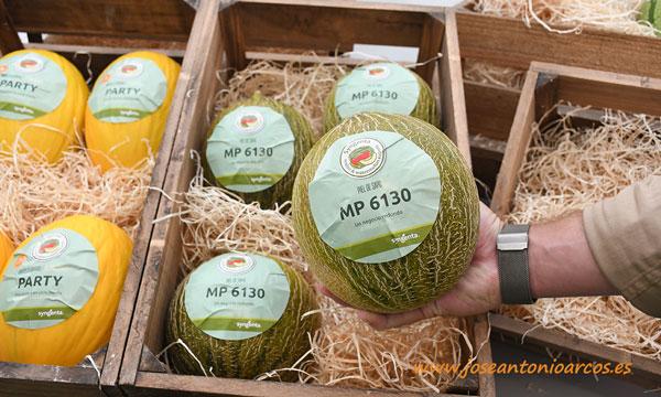 MP 6130, melón mini piel de sapo redondo. Syngenta. /joseantonioarcos.es