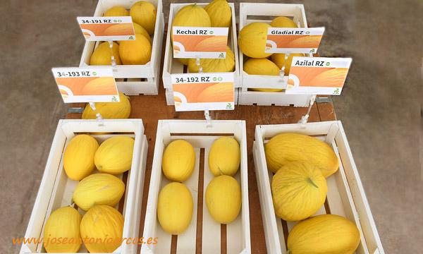 Melones amarillos de Rijk Zwaan. /joseantonioarcos.es
